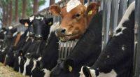 Báo Úc - thịt bò Úc