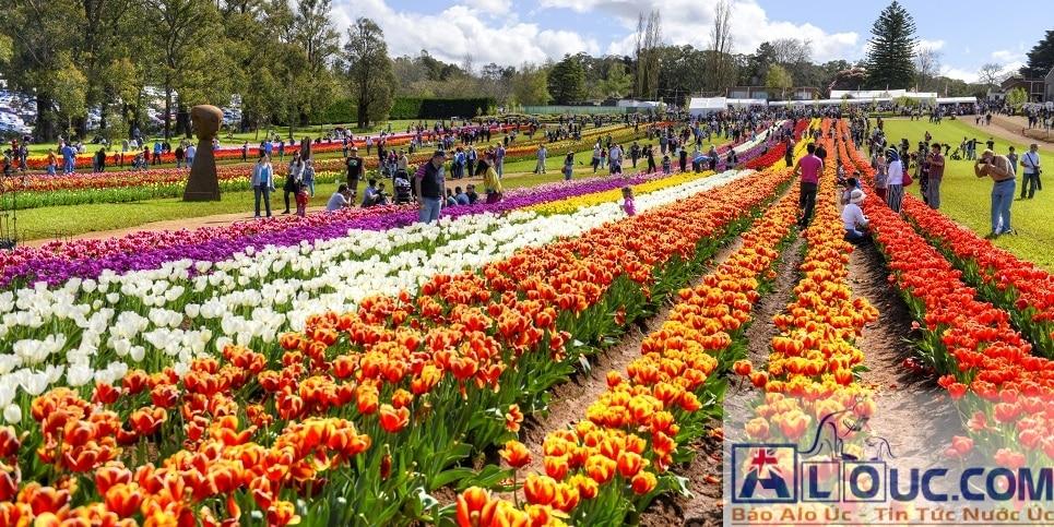 Lễ hội hoa Tulip Tesselaar
