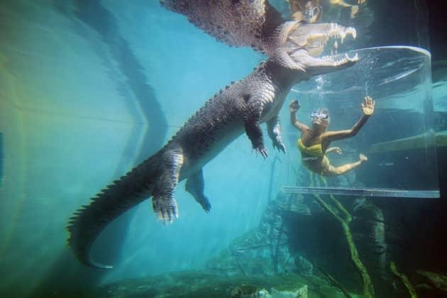 Kết quả hình ảnh cho đối mặt cá sấu qua lồng kính