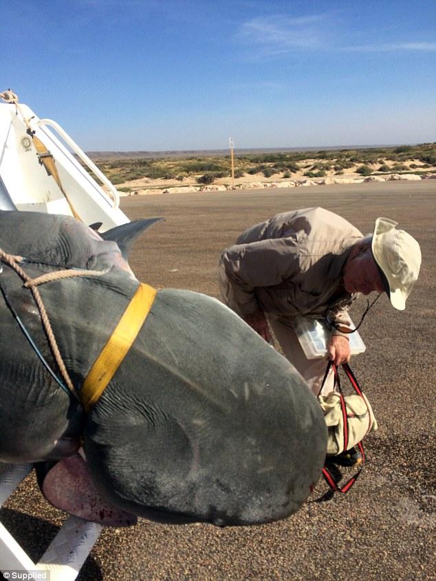 Úc: Sa lưới ngư dân, cá mập hổ nặng 4 tạ chết thảm - 3