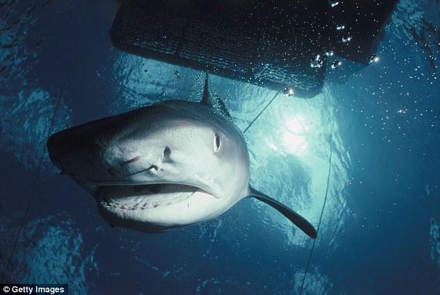 Úc: Sa lưới ngư dân, cá mập hổ nặng 4 tạ chết thảm - 4