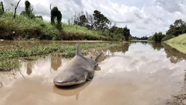 Úc: Giật mình thấy cá mập bò nằm chềnh ềnh giữa đường - 1