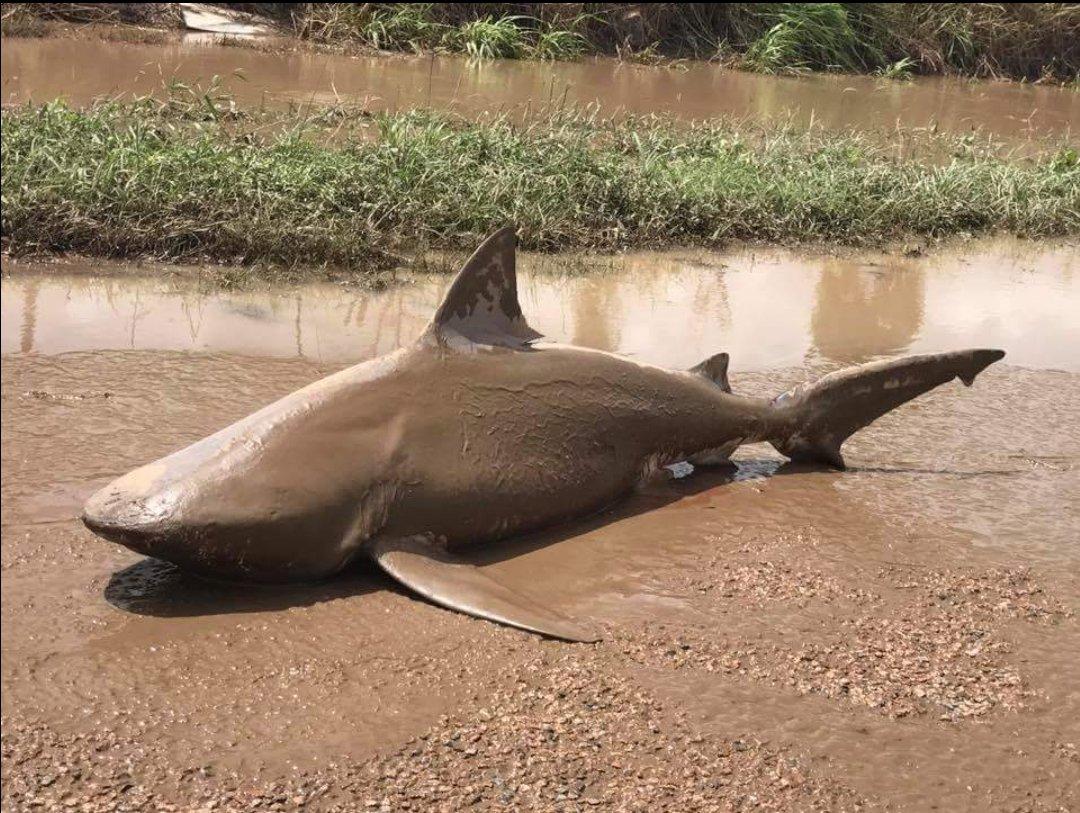 Úc: Giật mình thấy cá mập bò nằm chềnh ềnh giữa đường - 2