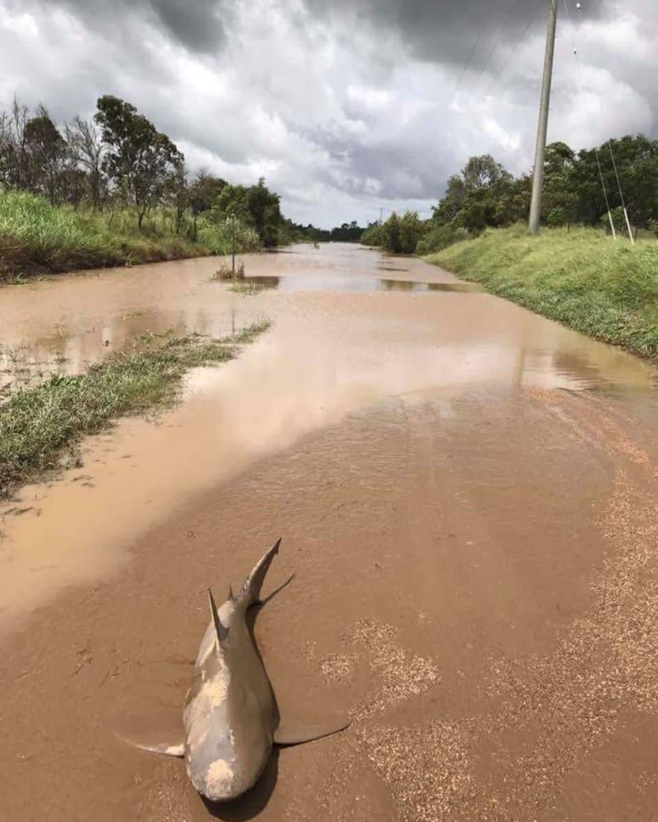 Úc: Giật mình thấy cá mập bò nằm chềnh ềnh giữa đường - 3