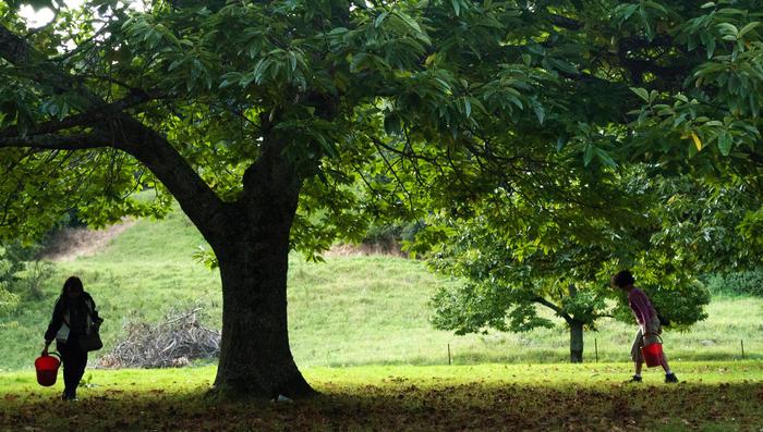 Kookootonga chestnut farm