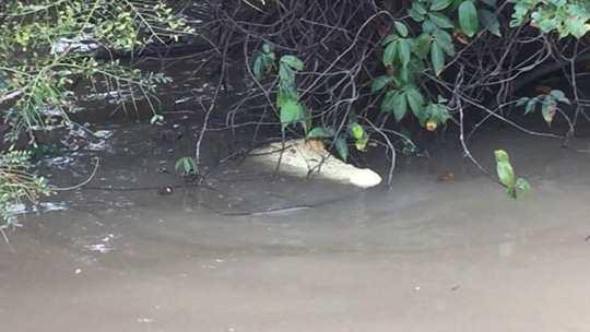 Phát hiện cá sấu trắng cực hiếm tại Úc - Ảnh 4.