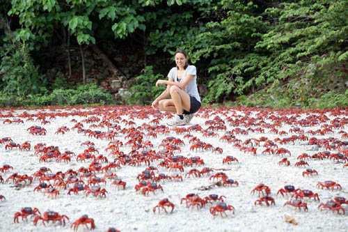 Mỗi đợt di cư thường niên có khoảng hàng triệu con cua đỏ trưởng thành.