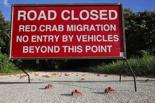 Vì số lượng đàn cua đỏ di cư rất đông, nên chính quyền địa phương phải đặt các tấm biểu báo cấm đường dành cho các phương tiện và người đi bộ ít nhất trong vòng một tuần.