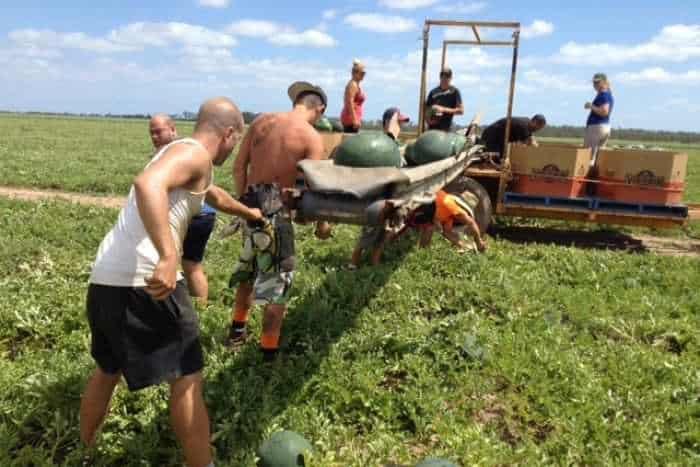 yH5BAEAAAAALAAAAAABAAEAAAIBRAA7 - Farm Úc thiếu người làm trầm trọng với hàng trăm tấn hoa quả rụng không ai hái