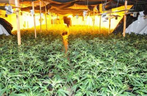 Bên trong một trang trại trồng cần sa có nô lệ người Việt ở Anh. Ảnh: Dailyecho.