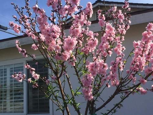 Cây đào phai bị trộm đang nở hoa rực rỡ đúng dịp Tết. Ảnh: Nhân vật cung cấp.