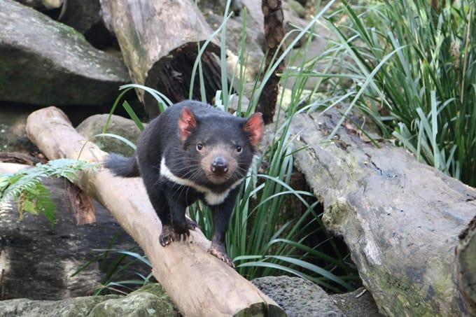 Loài Tasmanian Devil quý hiếm ở Australia.