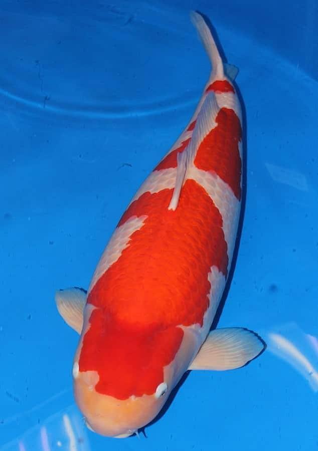 Đại gia bí ẩn đặt mua chú cá Koi khổng lồ giá 42 tỷ đồng