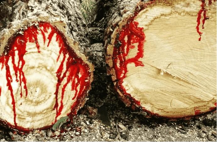 Kỳ lạ: Loài cây nguồn gốc từ Úc chảy máu giống con người - ảnh 1