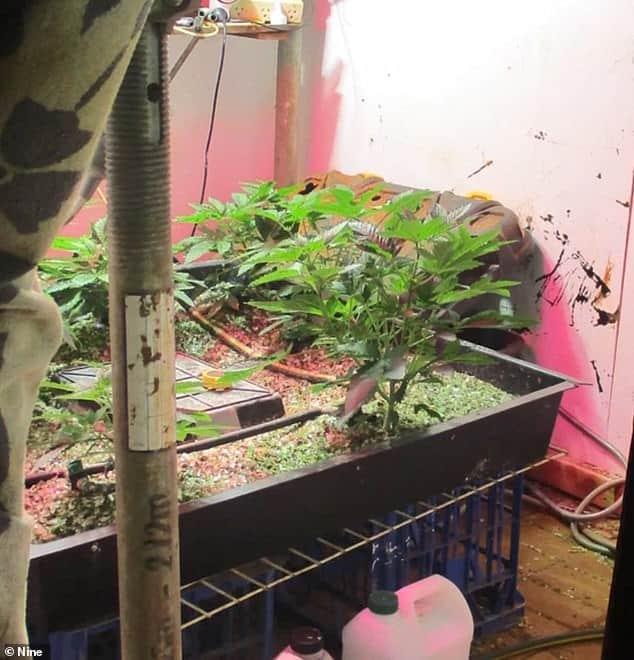 cannabis crop in a quiet street in Cairns