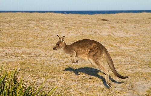 Kangaroo tự do chạy nhảy trên hòn đảo. Ảnh: Andre Karl/Flickr.