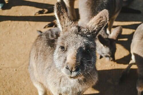 Du khách có thể lại gần chuột túi ở Bonorong. Ảnh: Hayley Simpson.