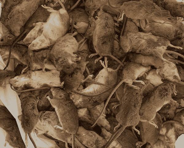 Chuột cắn bệnh nhân bệnh viện, tàn phá trang trại khi dịch chuột leo thang  khắp NSW - Alô Úc | Báo Alo Úc | Tin Tức Nước Úc | Báo Úc